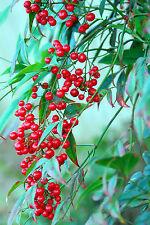 """Der """"Heilige Bambus"""" aus Indien: immergrün und wunderschön !"""