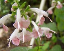 Salvia coccinea Coral Nymph Pink Tropical Sage 20 seeds