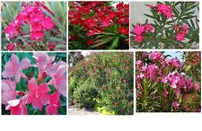 Pink Fushia Colored Oleander  Beautiful Flowered Bush Shrub Trees  15 + Seeds