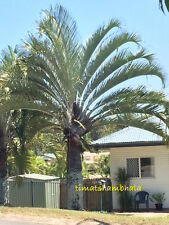 DISTINCTIVE TRIANGLE PALM Dypsis decaryi SENSATIONAL LANDSCAPING PALM