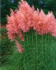 1200 SEEDS ORNAMENTAL GRASS PAMPAS  GRASS seeds Red Cortaderia selloana seeds