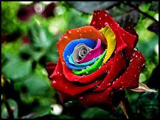 """""""35 Regenbogen Rose Rosen Rainbow Samen  Seeds Gothic Gardening""""."""