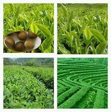 5 semillas de te verde camelia sinensis green tea seeds graines sementes samen