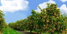 "12 Live Plants! Organic HIERLOOM TANGERINE TREES ""Farmer Pack"" Very Rare! & Gift"