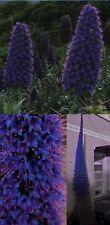 Tolles Duftkraut: Blauer Riesen-Natternkopf: Blüht schöner als 100 Blumen. Samen