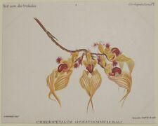 COGNIAUX GOOSSENS CIRRHOPETALUM ORNATISSIMUM ORCHIDEE ORCHIDS ORCHID BOTANICA