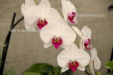 20 White With Pink Center Phalaenopsis Moth Orchid Organically Grown & Harvested