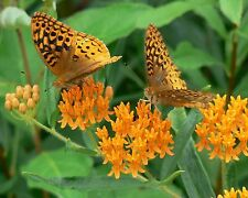 Asclepias tuberosa | Butterfly MilkWeed | 20-Seeds FREE SHIPPING TO US