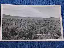 Elko County NV/Cattle Grazing in Field of Sagebrush/Kodak Paper RPPC/Unposted