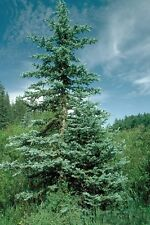 COLORADO BLUE SPRUCE -blue nondrop needles 50 seeds Beautiful  Trees
