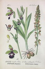 EUROPEAN ORCHID Ophrys muscifera - COLOR Litho Print Botanical