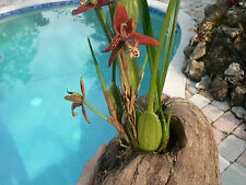 Orchid Maxillaria tenuifolia in coconut hanger near bloom Tropical Plants