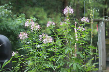 Cleome Spider Plant Seeds 100  Purple and White  Packed from Fall 2015 harvest