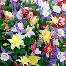 Columbine or Aquilegia Leumeah Mix Seeds Perennial Easily Grown Mixed Colours