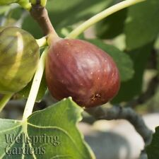 FIG FRUIT TREE Little Ruby Common Edible Fig LIVE PLANT