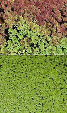 Schwimmpflanzen Sortiment Deko Teichpflanze Pflanzen für den Teich Teichpflanzen