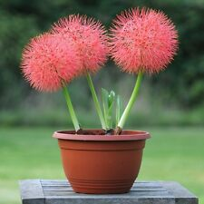 Bulbs Scadoxus multiflorus, Haemanthus multiflorus,Blood flower,Powder puff lily