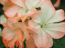Miniature Pelargonium Alice (geranium)