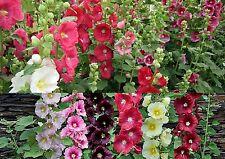ca. 100 Samen Alcea rosea mix - Stockrosen verschiedene Farben ungefüllt