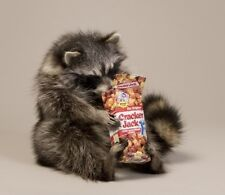 Cracker Jacks Raccoon Taxidermy Animal Statue Home or Office Gift