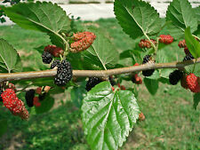 "14-18"" Florida Sweet Berry Mulberry Tree Morus Alba Silkworm Plant Cold Hardy"