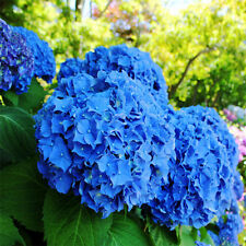 10pcs Blue Hydrangea Flower Seeds Plants Easy to Grow Home Garden Decor Flower