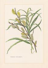 Mimbre-Salix viminalispara impresión en color de 1958 bandweide hanfweide