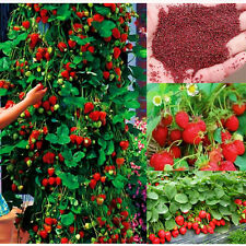 100pcs Hot Plants Climbing Strawberry Fruit Seed Home Garden Yard 2016 Red