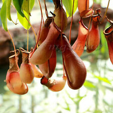 100x Purple Pitcher Plant Purpurea Carnivorous Flower Seeds Botanic Garden