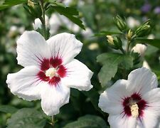 25-SEMI -Hibiscus syriacus 'Red Heart'