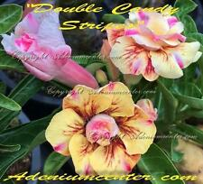 """ADENIUM OBESUM DESERT ROSE DOUBLE FLOWERS """" DOUBLE CANDY STRIPES """" 20 seeds"""