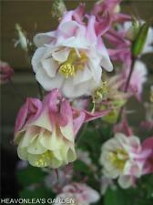 COLUMBINE (Aquilegia) Beautiful WINKY PINK & WHITE Perennial Flower SEEDS
