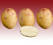 CARA SEED POTATOES x 5 Sets Main Crop FREE P&P Other Varieties Available Online