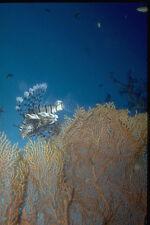 306022 Lionfish At Gorgonian Coral A4 Photo Print