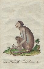 CHINESE APE SIMIA SINICA Bechstein Original Natural History Antique  Print 1796