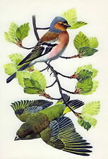 Antique Old Vintage TUNNICLIFFE Lithograph Art Print Birds Green Finch Chaffinch