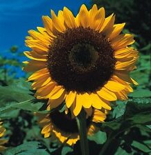 Kings Seeds - Sunflower, Giant Single -  50 Seeds