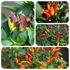 Abbraccio bunte Chilli dekorative Chili scharf & ertragreich tolles Farbspiel
