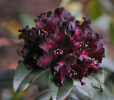Rhododendron Warlock  - Seven Gallon Plant - Hardy to -10 F