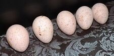 3 Bourbon Red Turkey Hatching eggs