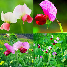 60Pcs Flower Seeds Sweet Pea - Mammoth Plant Garden Decor Home Garden