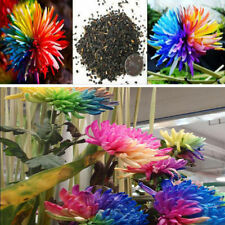 100PC Rainbow Chrysanthemum Flower Seeds Ornamental Bonsai Rare Garden Plant