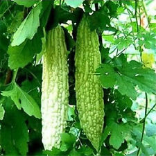 FD1173 Balsam Pear Seed Bitter Melon Organic Vegetable 1 Pack 10 Seeds  ✿