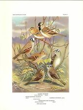 "1960 Vintage ""4 SPARROW HARRIS' GAMBEL'S WHITE CROWN"" WEBER LOVELY Lithograph 87"