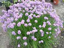 CHIVE SEEDS! GREAT ON A BAKED POTATO! YUM! COMBINED S/H!