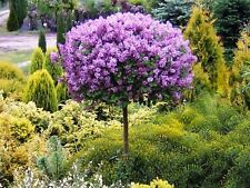 Dwarf Lilac meyeri 'PALIBIN'(grafted tree) - 100 cm tall seedling-potted