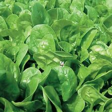 Hybrid Indian Spinach Palak Spinacia Oleracea  Seeds 10 Grams 1000 Plus Nos