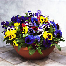 20  PANSY MAJISTIC GRANDIFLORA HYBRID, SEEDS, SF-833  + FUNGICITE