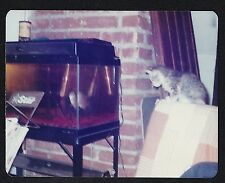 Vintage Photograph Cat Sitting Near Fish Tank Looking In At Fish