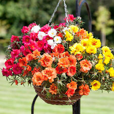 Flower Seed PORTULUCA - Hybrid Mixed Moss Rose /Time Flower - Pack of 50 Seeds